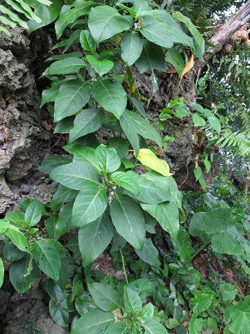 インドヒモカズラ2012.10-2
