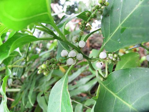 インドヒモカズラ2012.10-3