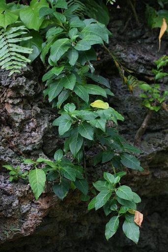 インドヒモカズラ2012.10-1