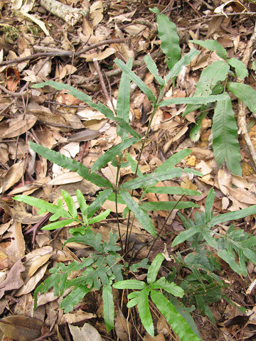 カワリバアマクサシダ2012.11-1