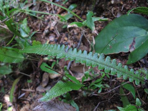 ヘラシダ類2012.11-1