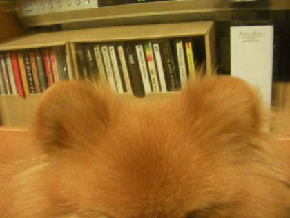 クマさん耳