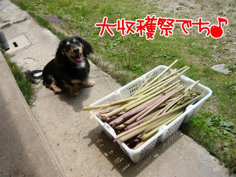 ふき大収穫祭