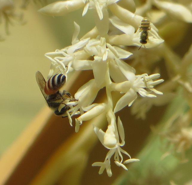 ヤシ2012060708花ハチ