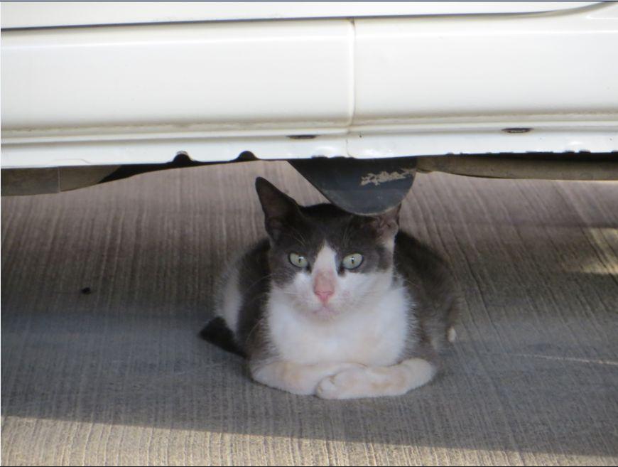 20120608サウジの今日のネコ
