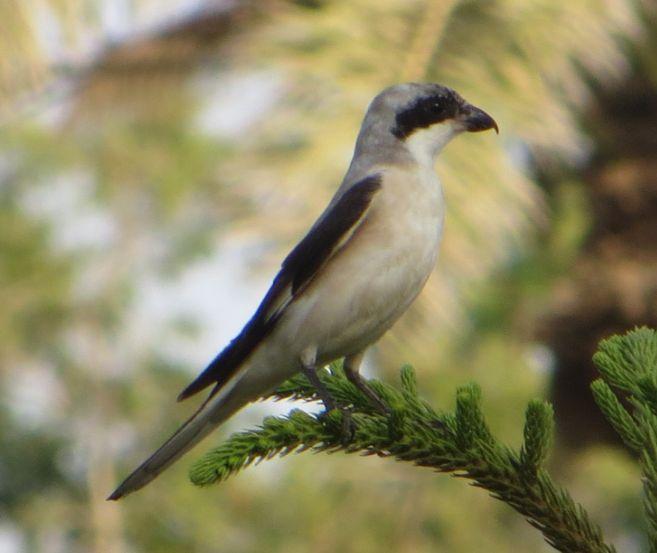 サウジの鳥83007