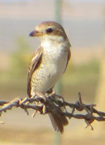 サウジの鳥83004