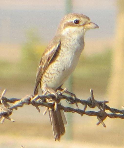 サウジの鳥83003