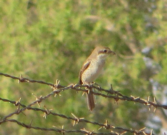 サウジの鳥83001