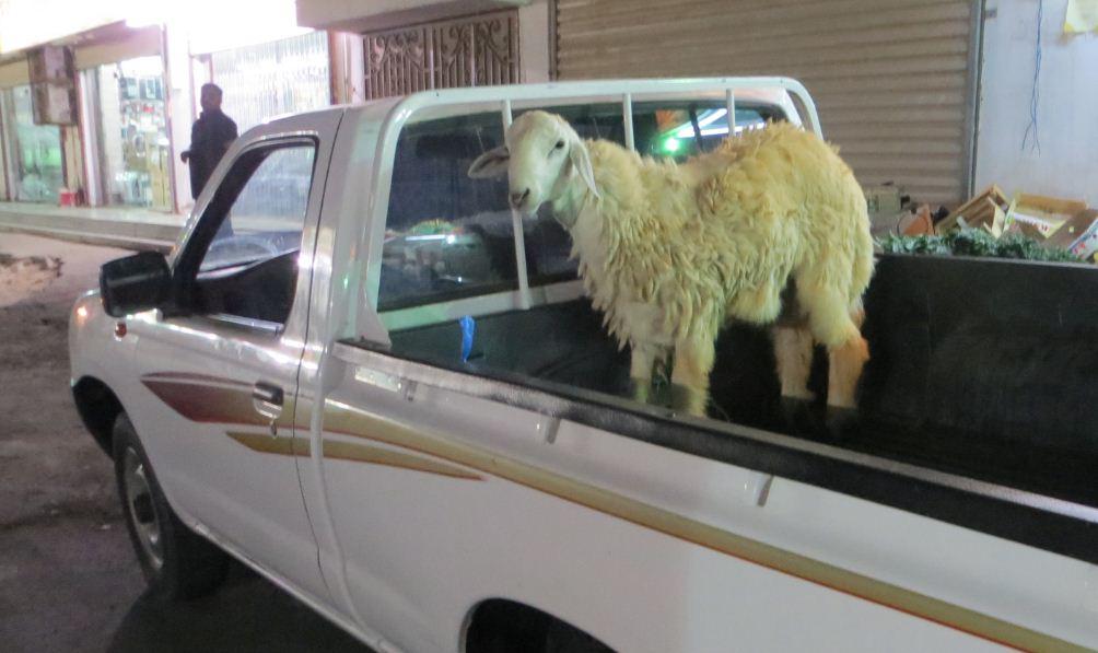 犠牲祭用の羊かな2