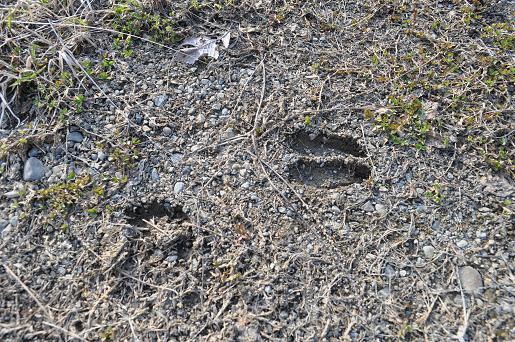 シカさんの足跡
