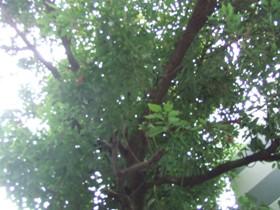 タブの木だそうで