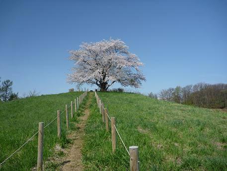 為内の一本桜全体?(2010.5.10)