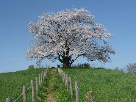 為内の一本桜全体②(2010.5.10)