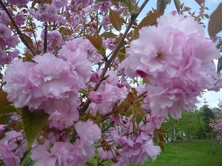 さくら公園の八重桜アップ(2010.5.22)