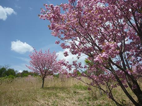さくら公園の八重桜?(2010.5.22)