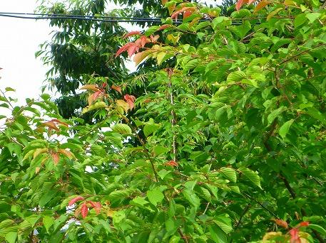 桜の木02(2010.7.7)
