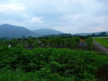 ブルーベリー収穫体験01(2010.8.11)
