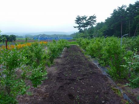 ブルーベリー収穫体験04(2010.8.11)