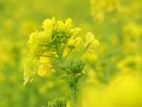 ブログ0224菜の花1RIMG0451