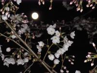 BL0331夜桜1RIMG1401