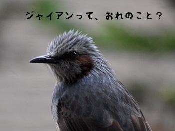 ヒヨドリ1
