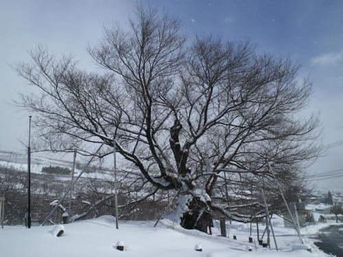 冬に耐える千歳桜(26.1.22)