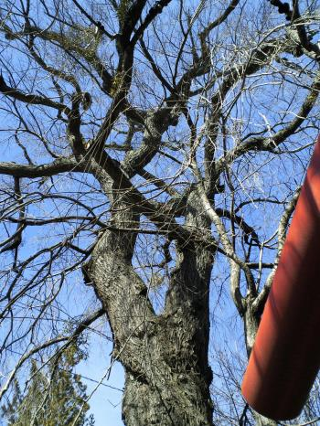 鳥居横の桜(26.1.24)