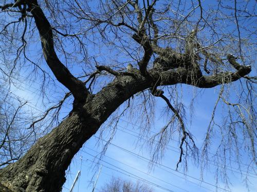 古墳上の桜の幹(26.1.24)