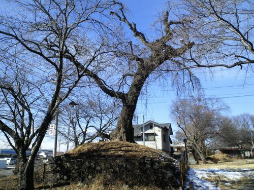 唐松2号古墳の桜(26.1.24)