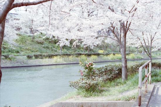 運河沿いの桜並木1