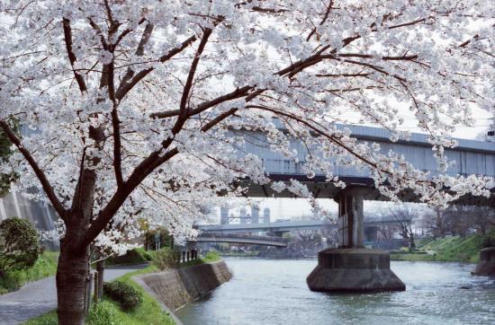 運河沿いの桜並木3
