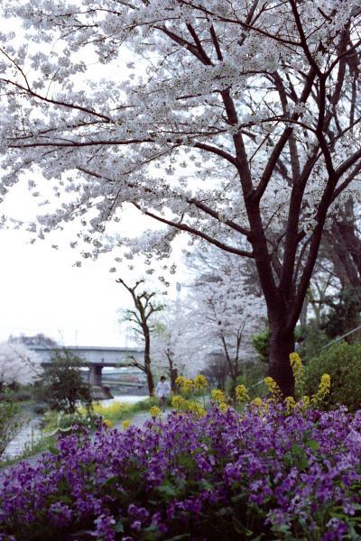 運河沿いの桜並木4