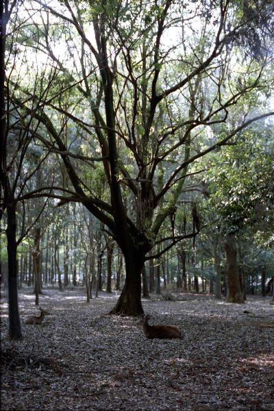 春日大社の森2