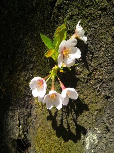 20130322桜