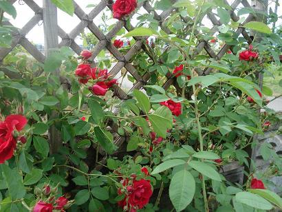 赤いつる薔薇