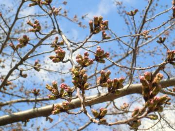 120401桜の蕾