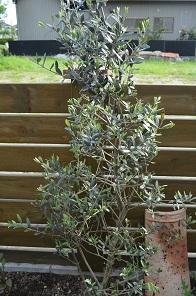 オリーブ成木