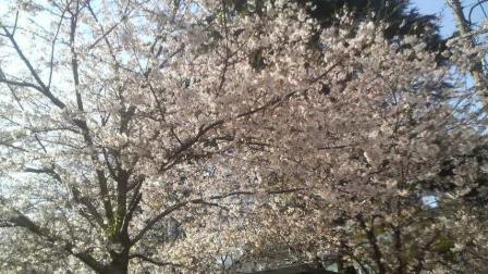 オールドベンツ レストア 桜