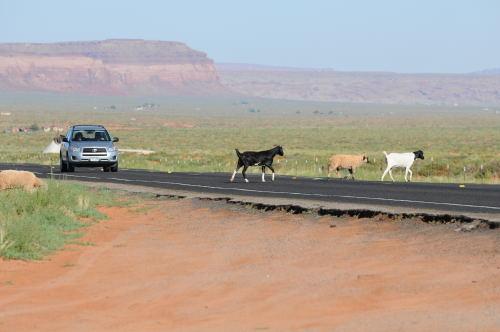 道を横切る羊達
