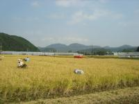2011稲刈り 001