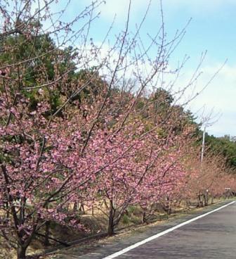 桜祭り-2