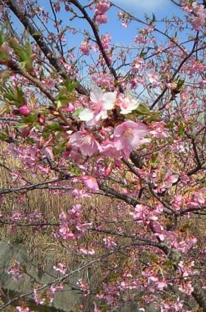 桜祭り-1