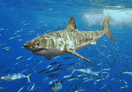260px-White_shark.jpg