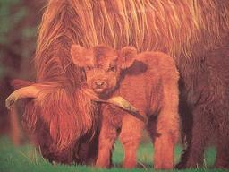 ハイランド牛の赤ちゃん