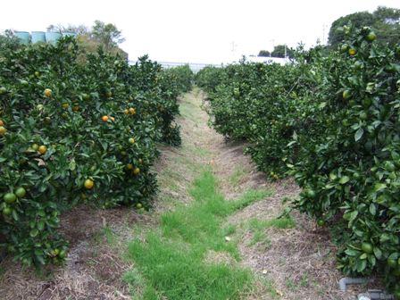 除草剤を使わない畑。有機物も入れ続け、固かった土が柔らかく、あきらかに土の質が変わってきました。