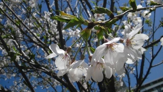 20110413_桜