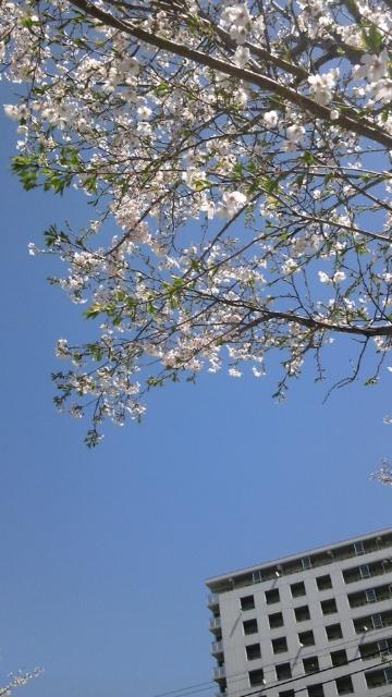 20110413_2_桜
