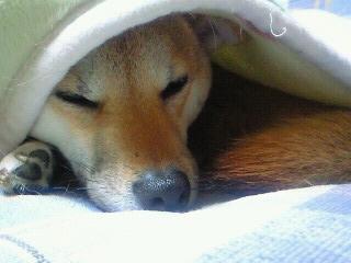モモ様の昼寝