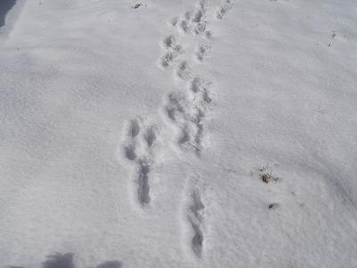 ウサギの足跡?